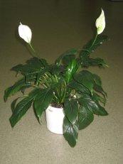 Растения приносящие любовь